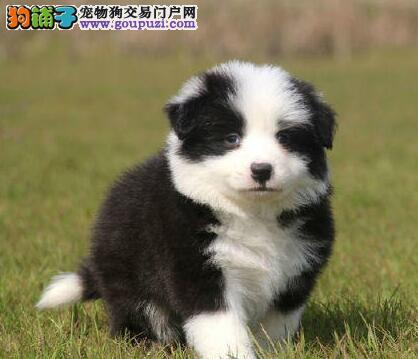 边境牧羊犬幼犬出售中、纯正血统完善服务、当天付款包邮