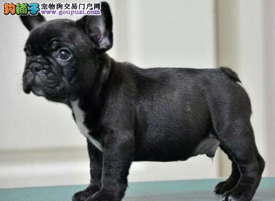 国际注册犬舍 出售极品赛级法国斗牛犬幼犬喜欢微信咨询