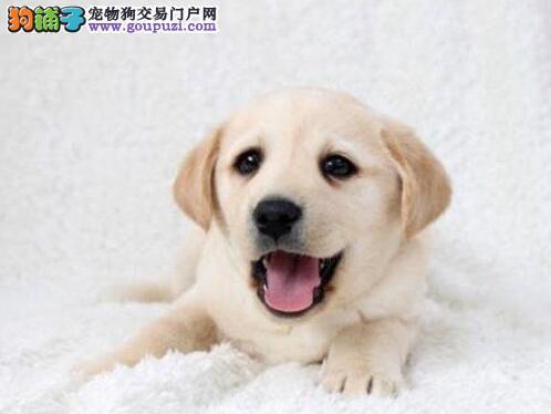 大脑袋大骨架的沈阳拉布拉多犬求好心人士收养 可议价