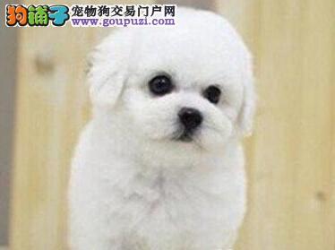 实体店促销好品质广州比熊犬公母均有保健康