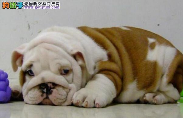 大型犬舍直销出售顶级优秀斗牛犬 欢迎来贵阳实地考察