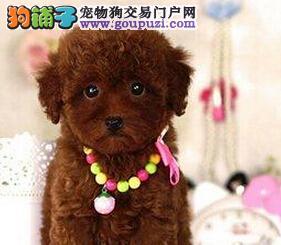 纯正韩国血统贵宾犬特价出售 深圳地区有专业犬舍