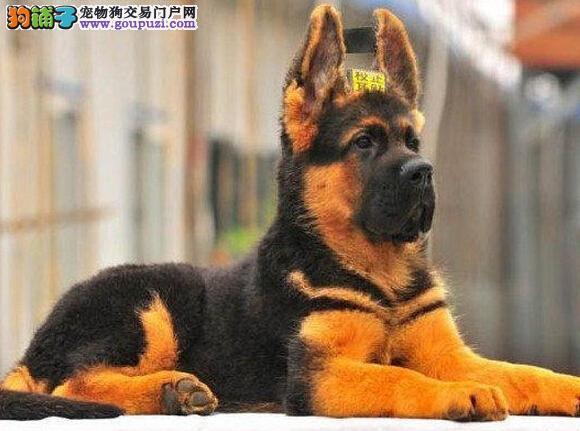 北京德国牧羊犬出售 黑背保纯保健康可签订质保协议
