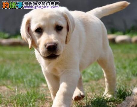 转让纯种血统武汉拉布拉多犬 附近人士可上门挑选购买