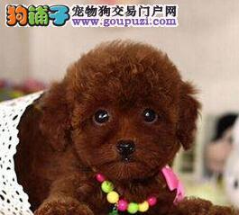 家养贵宾犬出售健康第一欢迎到家看狗