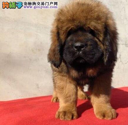 福州大型狗场低价促销纯种藏獒 保证身体十分健康