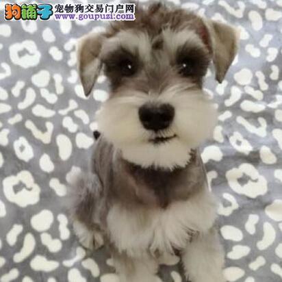 雪纳瑞犬 椒盐色 灰银色的迷你雪纳瑞幼犬