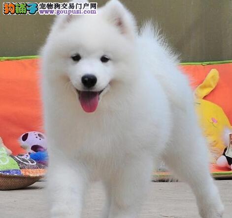 正规狗场直销价格出售武汉萨摩耶 双血统有问题可退换