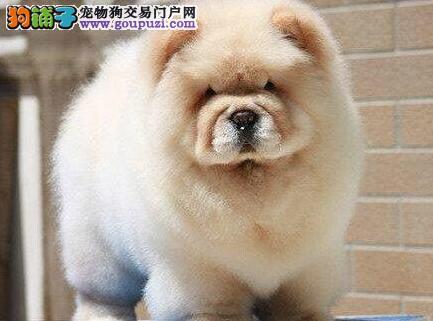 信誉狗场直销西安松狮犬 紫舌大嘴毛量大品相好