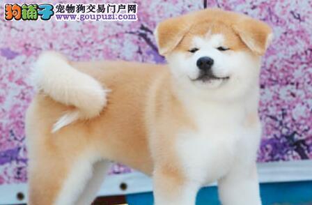上海家养的秋田犬狗狗出售品相好家养活泼很忠诚的八公