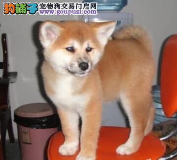 自家犬舍繁殖包头秋田犬高质量纯日系品相优