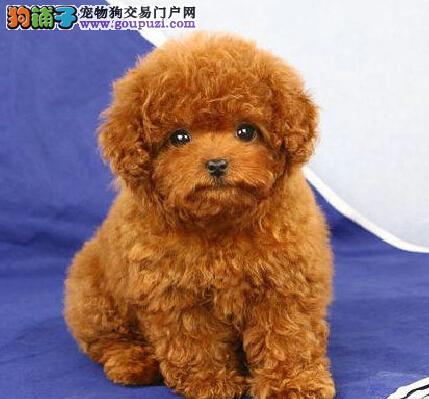国外引进纯种赛级血统韩系泰迪犬唐山热卖 质保健康