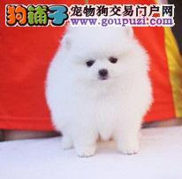 顶级优秀的纯种上海博美犬热销中一宠一证视频挑选