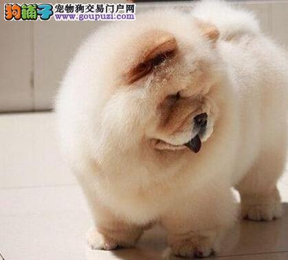 热销松狮幼犬,血统纯正包品质,喜欢加微信3