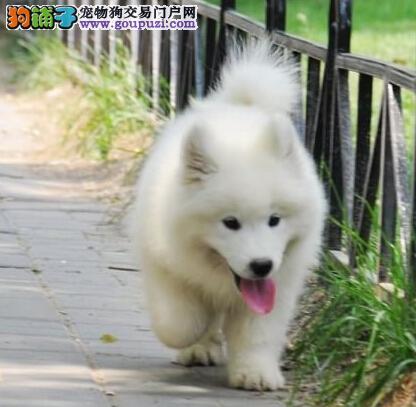 天津留念犬业出售100%纯种萨摩耶~!