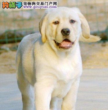 上海基地专业繁殖拉布拉多犬质保售后包终身签协议