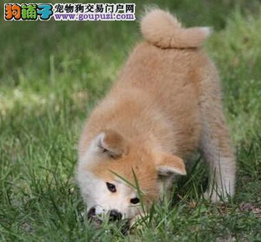 出售高端秋田犬 一宠一证视频挑选 签协议可送货1