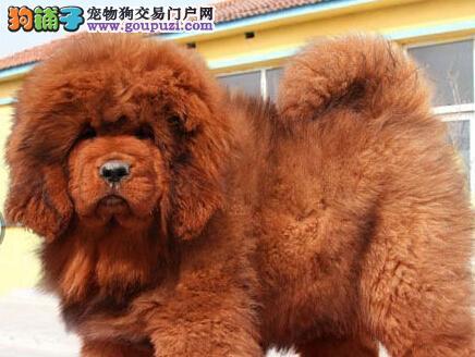 武汉小藏獒热销 价格实惠 骨量足毛量大 四肢粗壮硕大4