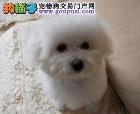 特价来袭广州售比熊签协议免费送货三针做好证件齐全