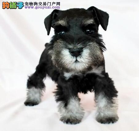 兰州犬舍出售白胡子老头雪纳瑞幼犬 灰色黑色可选2