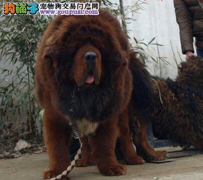 唐山大型犬舍出售狮子头的藏獒幼崽 签订售后协议书