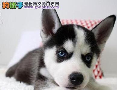 纯血统赛级雪橇犬哈士奇西安特价啦 标准蓝眼三火