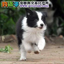 广州广州出售边牧幼犬可上门看狗 聪明会玩飞盘的边牧