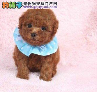 天津实体店出售精品泰迪犬保健康微信看狗真实照片包纯