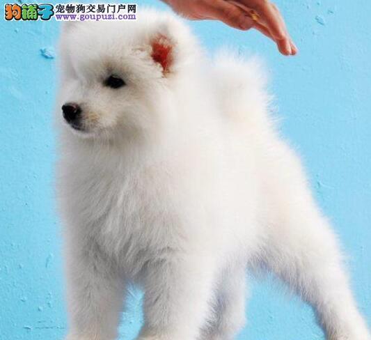 出售幼犬微笑天使萨摩耶寳呗闪亮登场..包健康血统