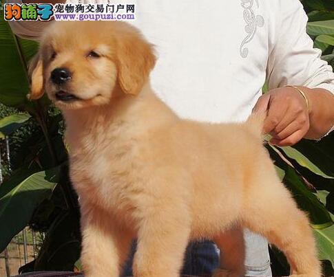 CKU北京市最大的金毛导盲犬养殖基地-赛级金毛犬服务