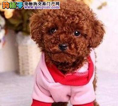 网上购买泰迪犬需要注意的五大事项