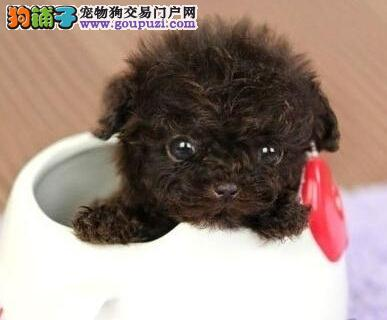 北京出售高品质泰迪犬 玩具犬泰迪赛级品质平民价格