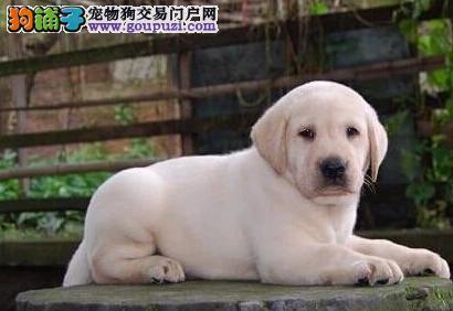 纯种拉布拉多幼犬、专业繁殖包质量、三包终生协议