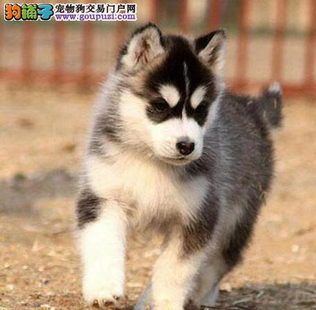 玉溪出售纯种健康哈士奇雪橇犬三火蓝眼睛哈士奇幼犬