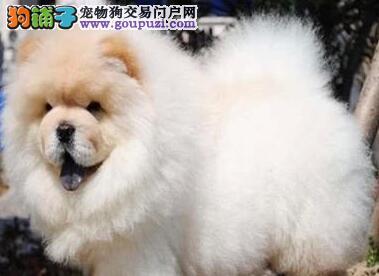 青岛正规犬舍出售大毛量松狮犬 价格优惠品质卓越