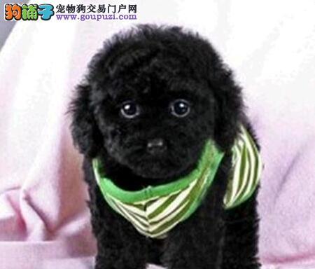 高品质泰迪 卷毛贵妇犬 贵宾犬幼犬广州出售公母全有