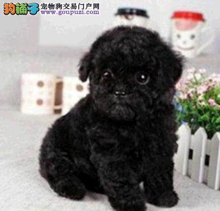 国外引进纯种深圳泰迪犬 多只购买可以优惠有礼物赠送