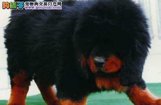 广州哪里买藏獒最好獒园出售纯种红藏獒铁包金狮子头