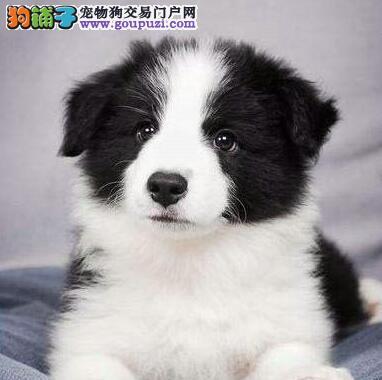广州狗场出售完美品相的边境牧羊犬 喜欢就速来选购吧