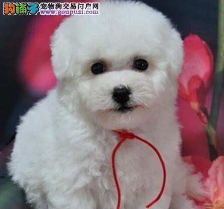 出售雪白色没有任何杂毛的广州比熊犬 签订正规协议