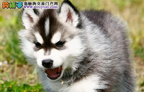 自家繁殖的广州哈士奇犬找新主人 大家可随时上门选购