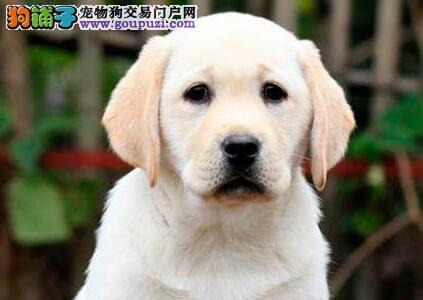 遵义市出售家养拉布拉多幼犬 聪明 纯种