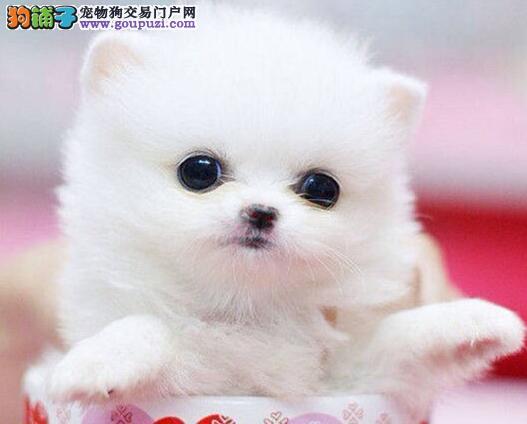 南宁出售小体博美犬 多色可选纯种博美迷你体型好养活