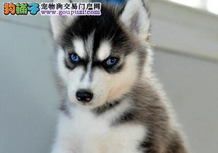 铜川犬舍直销西伯利亚雪橇犬哈士奇幼犬好养活送用品