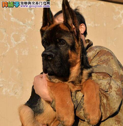 德牧幼犬,带证书线条美,聪明伶俐