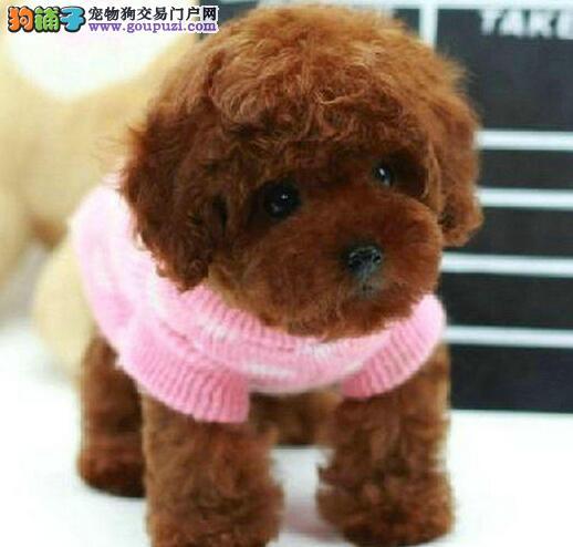 宁波大型犬舍直销价格出售纯种进口韩系贵宾犬 保品质