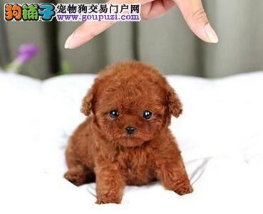 茶杯玩具血系的兰州泰迪犬找新主人 求爱狗人士收留2