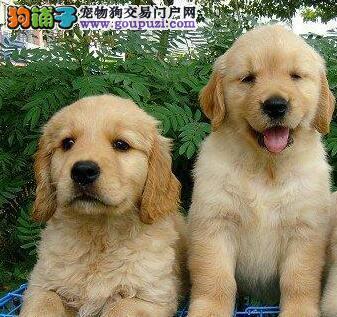 信誉狗场直销出售纯种大骨架金毛犬 福州地区有实体店