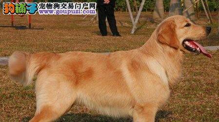 纯种枫叶系 高品质金毛犬质保三年 免费送货上门