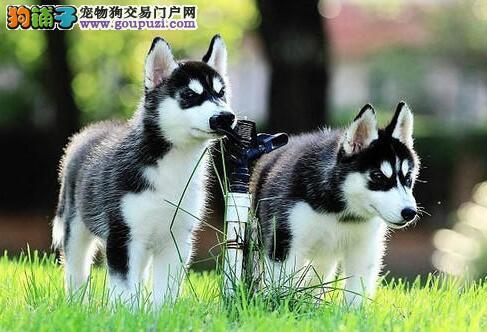 出售北京哈士奇 纯种三把火双蓝眼欢迎购买保证健康图片